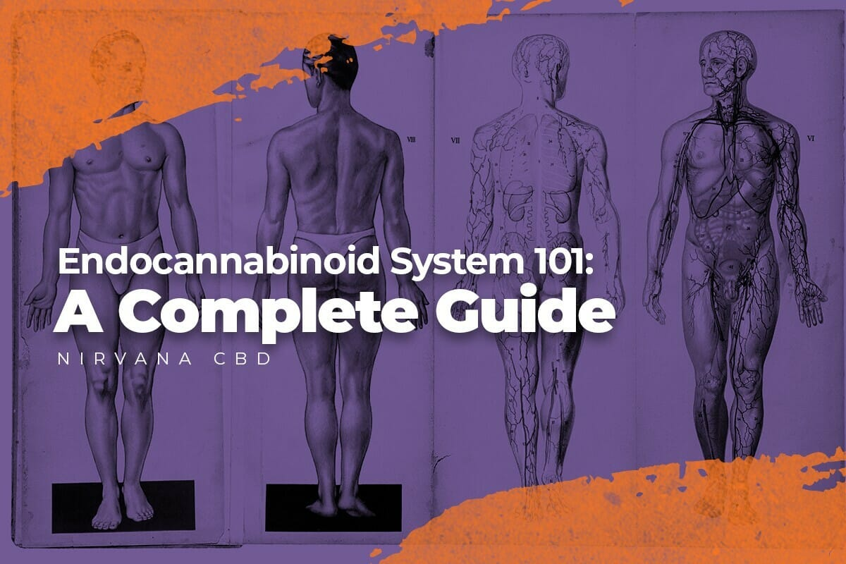 Endocannabinoid System 101: A Complete Guide